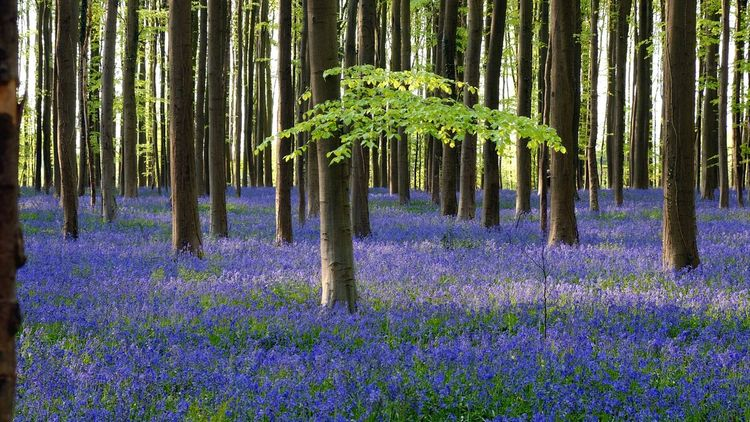 Hello World from the Magic purple Blue of the Hallerbos Forest close to Brussels Belgium, where it is the s3ason of Bluebells . Traveling in Nature. The Great Outdoors - 2015 EyeEm Awards Eye4photography  My Best Photo 2015