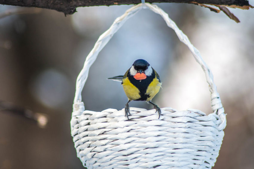 Parus major Bird Animal Wildlife Animal Themes Animal Animals In The Wild Vertebrate One Animal Focus On Foreground Perching Day No People Close-up Beauty In Nature Outdoors Nature Selective Focus Multi Colored Zoology Tree Travel Wildlife