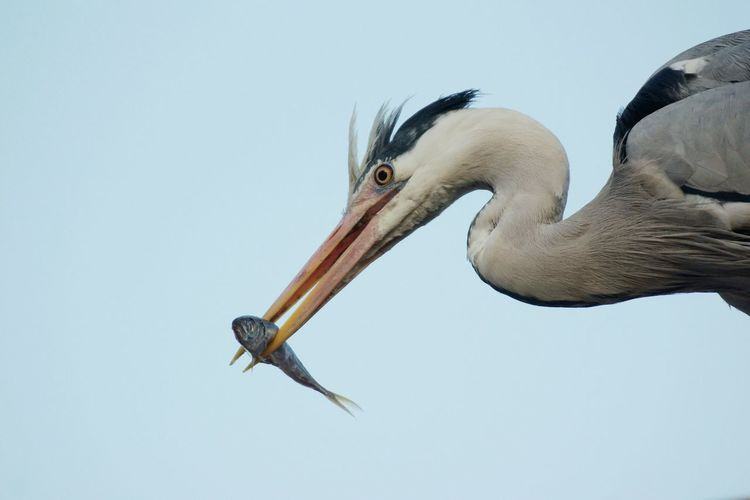 Low Angle View Of Gray Heron With Fish Against Clear Sky