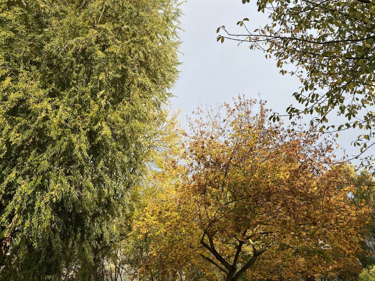 tree, plant, growth, beauty in nature, sky, tranquility, no people, nature, low angle view, day, branch, autumn, tranquil scene, outdoors, change, clear sky, green color, scenics - nature, forest, non-urban scene, tree canopy