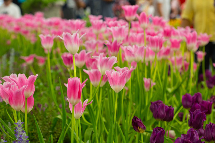 Tulips🌷 Flower Flowering Plant Plant Freshness Beauty In Nature Pink Color Growth Vulnerability  Fragility Close-up Petal Focus On Foreground Nature Inflorescence Day Flower Head Green Color No People Outdoors Plant Part Flowerbed Springtime Gardening