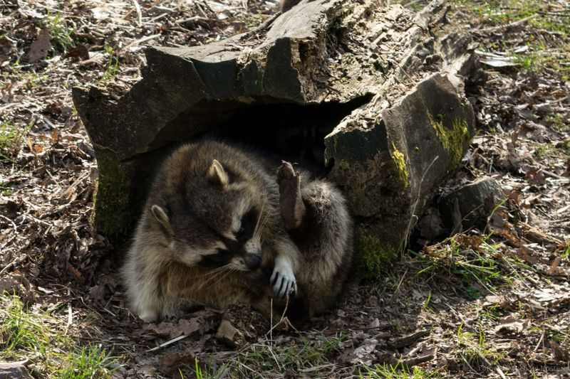 Animal Nature Raccoon Outdoors One Animal Animals In The Wild Nature