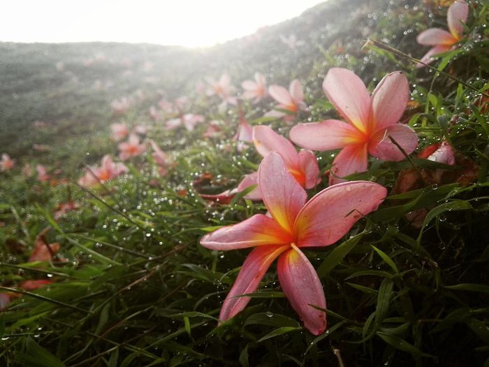 Cherish while it lasts Flower Pink Pink Flower Nature Morning Growth Beauty In Nature Close-up Plant Flower Head Petal Outdoors No People Freshness Day Fragility Maroon First Eyeem Photo Millennial Pink Millennial Pink