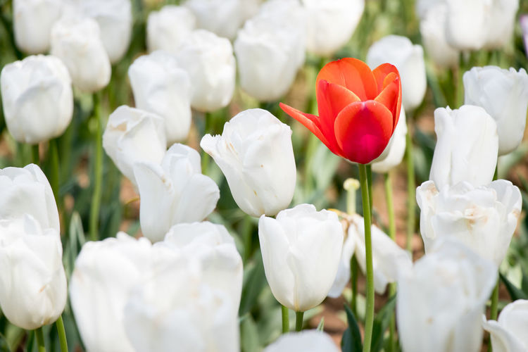 Red tulip growth among white tulip background (Concept for differentiate from other, leader or unique) Leader Natural Plant Backgrounds Beauty In Nature Blooming Blossom Different Flora Flower Freshness Growth Nature Niche Outstanding Park Plant Red Color Spring Tulip Unique White Color