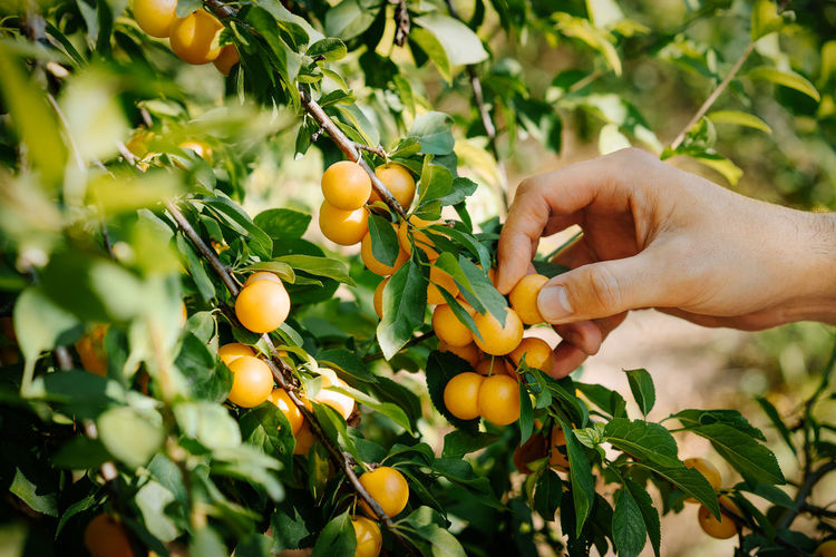 Low angle view of person picking wax cherry fruits on tree