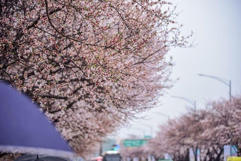Cherry Blossoms Flower Korea Nikon Nikon D750 Seoul Spring Flowers Tamron Tamron 70-200mm F/2.8