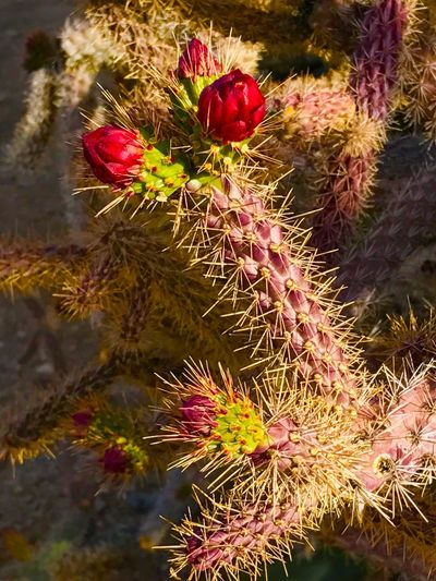 Growth Cactus Nature Thorn No People Close-up Plant Spiked Freshness Beauty In Nature Red Flower Day Outdoors Food And Drink Focus On Foreground Prickly Pear Cactus Flower Head Ceedubslens Check This Out EyeEmNewHere