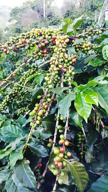 Beauty In Nature Tree No People Nature Plant Coffeebeans FreshLeaf Outdoors CoffeeTree
