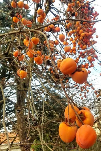 Kaki Christmas Tree Nature_collection Nature Photography Toulouse South Of France Fruit Orange - Fruit Tree Orange Color Food And Drink Food Low Angle View Growth Healthy Eating Freshness Nature No People Outdoors Branch Beauty In Nature
