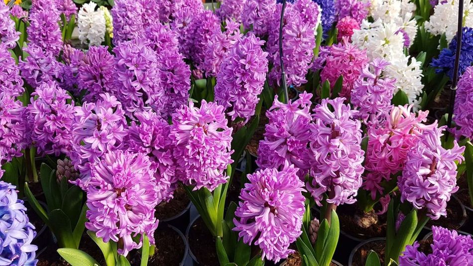 Flower Freshness Purple Fragility Nature Beauty In Nature Growth No People Blooming Flower Head Day Outdoors Growth Hyacinth Hyacinths HyacinthFlowers Hyacinth Flower Hyacinth,spring Hyacinthus Hyacint Beauty In Nature Backgrounds Pink Color Plant Leaf