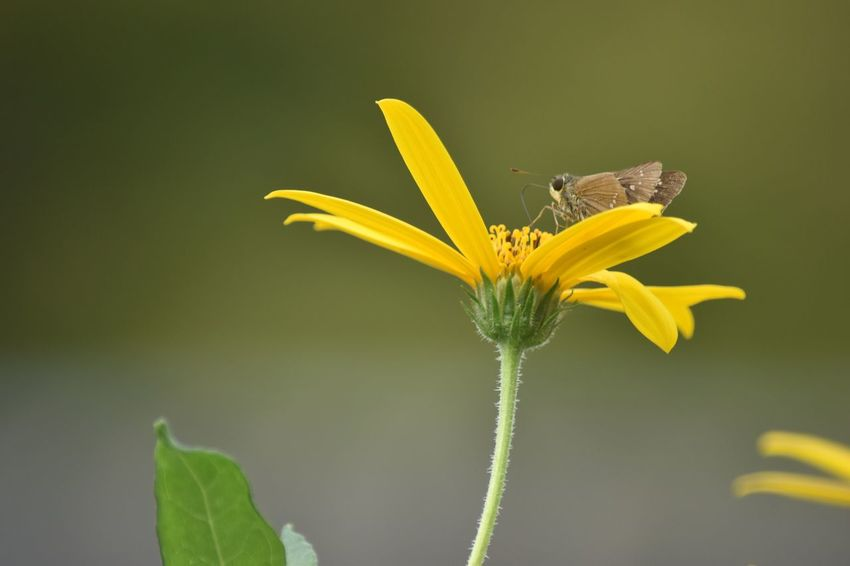 Flower Yellow Fragility Beauty In Nature Nature Skipper イチモンジセセリ