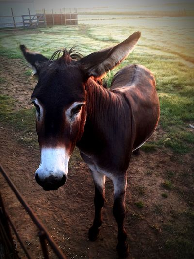 Donkeys EyeEm Selects Domestic Animals One Animal Animal Themes Mammal Livestock Close-up Nature No People Outdoors Portrait Day Standing