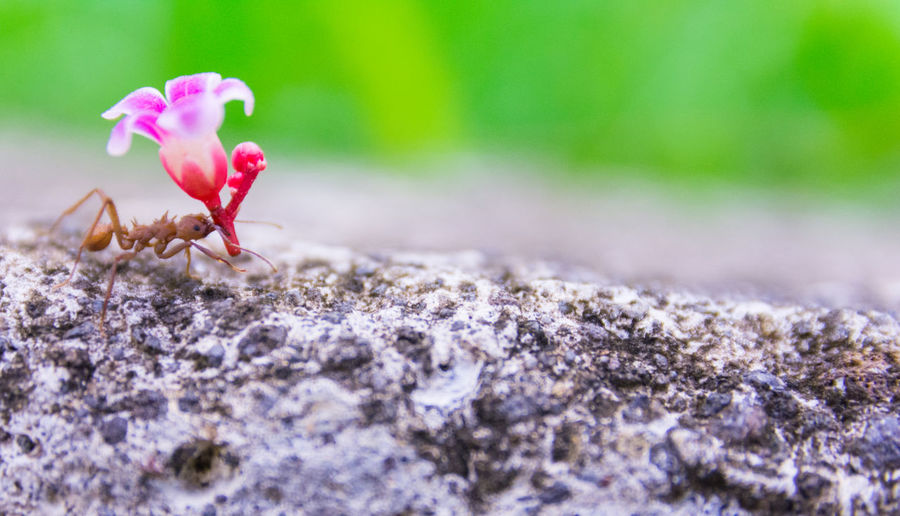 Happy valentines day - small ant bringing a flower to his gilrfriend Happy Valentines Day Valentine's Day  Valentine Flower Gift Present Love Romance Romantic Couple Close-up Nature Date Ant Celebration Event Macro Cute Wedding Card Text Message Heart