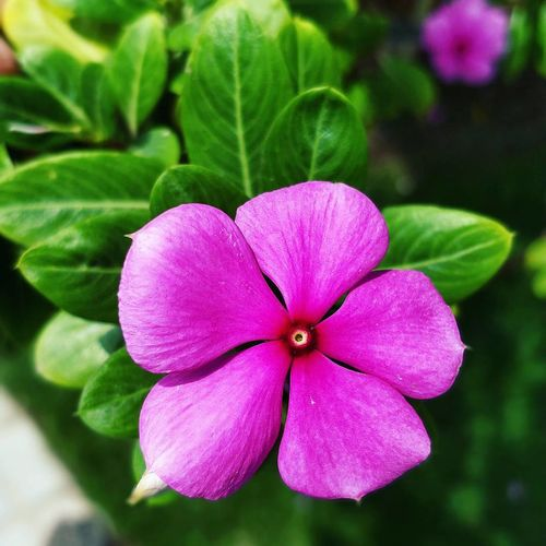 Flower Pink Color Beauty In Nature Freshness Never Settle Clear Photo Photography Close-up Flower Head Traveling Photography Souls Periwinkle Day Natural