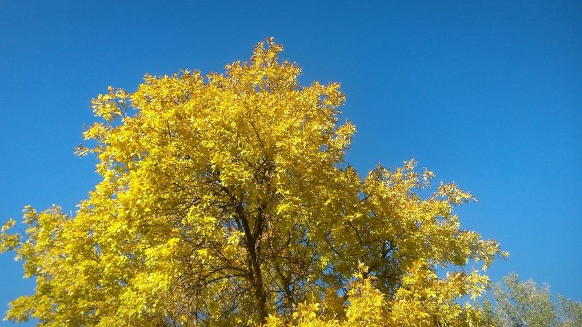 Tree Blue Sky Low Angle View Nature Branch Yellow Outdoors No People Day Growth Clear Sky Beauty In Nature Flower Freshness Close-up