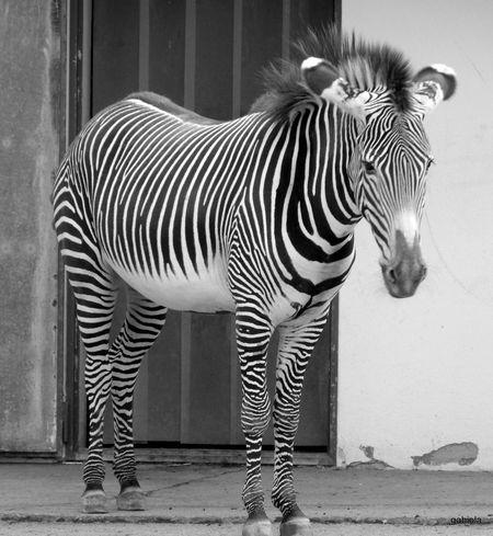 Black & White Zoo Frankfurt Animals Taking Photos