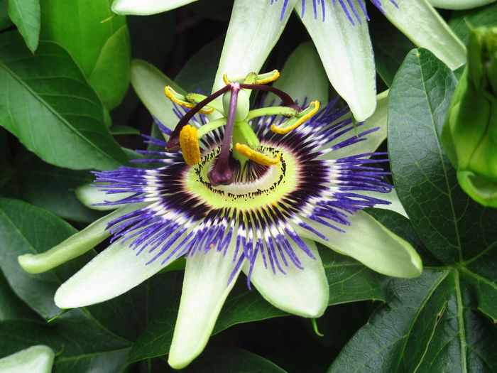 Close-up of passion flower blooming in park