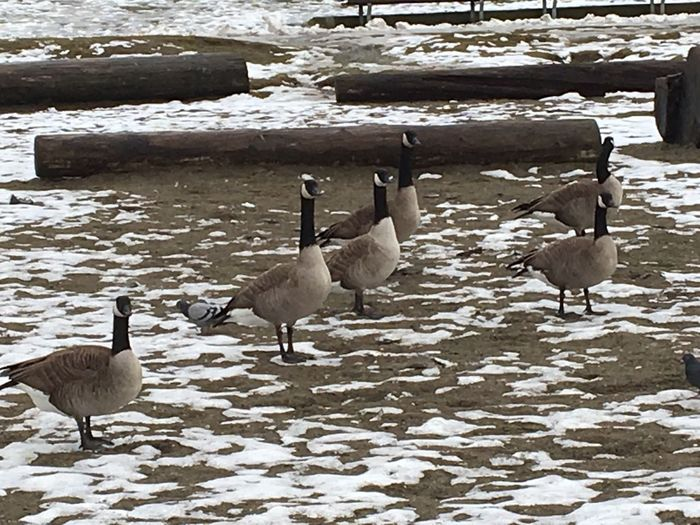 Animals In The Wild beach sand snow Gosling Goose No People Animal Themes Nature Canada Goose Animals In The Wild Cold Temperature Snow Animal Wildlife Bird Day
