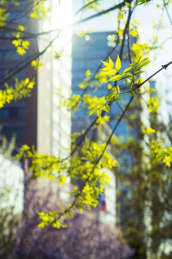 浓绿替了鹅黄,槐花开满槐树,等到槐虫吐丝,别提多么恐怖。 Spring Plant Yellow Focus On Foreground Tree Outdoors Built Structure Leaf Plant Part Leaves Spring