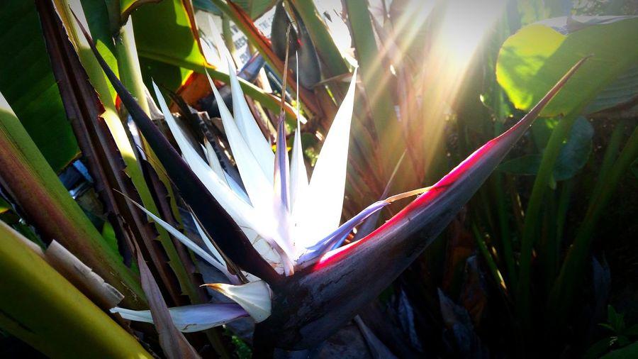 Albino Bird Of Paradise Flowers Flowerporn Sunrays Mother Natures Artwork