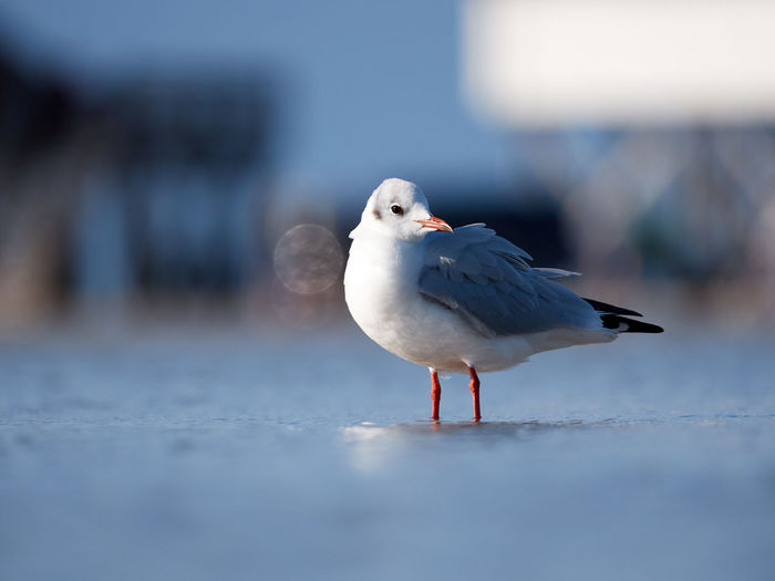 Seagull Beach Life Beach Photography Birds Of EyeEm  Animal Animal Themes Animal Wildlife Animals In The Wild Beach Beachlife Bird Close-up Day Focus On Foreground Nature No People One Animal Outdoors Perching Seagull Selective Focus Side View Vertebrate Water White Color