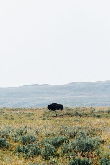 Copy Space Nature Animals In The Wild Grass One Animal Landscape No People Bison Animal Themes Outdoors Day Safari Animals Mammal Beauty In Nature American Bison Sky