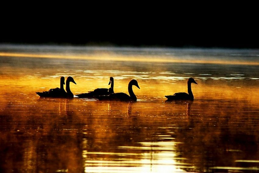 swans Sunrise Swans Silhouette Birds Colours Amazing Water