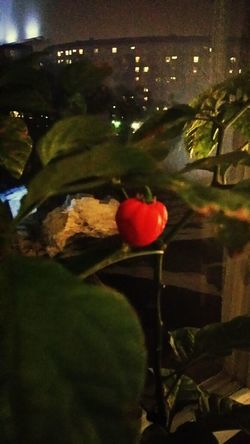 Soaking Up The Sun Red Hot Chili Peppers My Mexican Chili Tree Worlds Strongest Chili