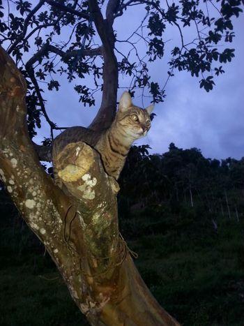 Vigilando.. Cats Catsofinstagram Catlovers Cat♡ Cat Watching Cat Photography Cat Colombia ♥  Instant Vigilante Esperando Depredador Tree