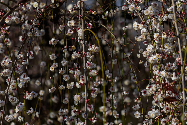 Flowering Plant Growth Flower Plant Beauty In Nature Fragility Freshness Vulnerability  Day Close-up Selective Focus Nature No People Outdoors Focus On Foreground Tree Blossom Branch Springtime Botany Flower Head Cherry Blossom Spring 曽我梅林 枝垂れ梅