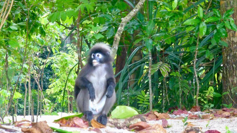 Animal Themes Vacation Vacations Holiday Trees Beach Monkey Wildlife Nature Malaysia Langkawi Datai Bay Dusky Leaf Monkey Summer Exploratorium The Great Outdoors - 2018 EyeEm Awards The Traveler - 2018 EyeEm Awards