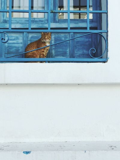 Orange cat in front of a blue window Street Cat Orange Cat Tunisia Architecture Building Exterior Built Structure Window Wall - Building Feature Day No People Animal Themes Animal Outdoors Building Domestic Pets Mammal Domestic Animals Wall Blue
