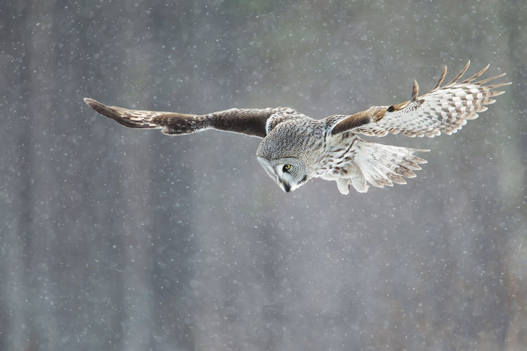 Owl flying during snowfall