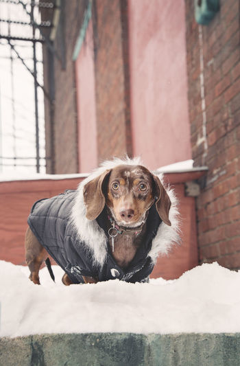 Animal Head  Close-up Coat Cold Dog Fur Má One Animal Pets Portrait Retro Snow Teckel Vintage W