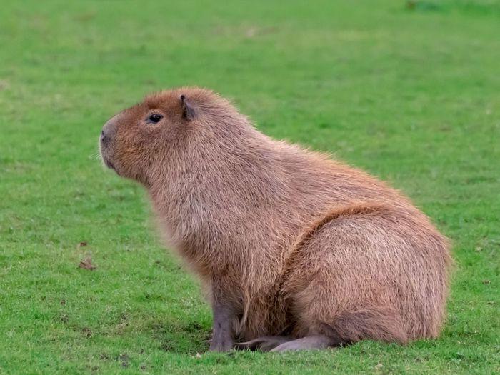 Capybara Grass