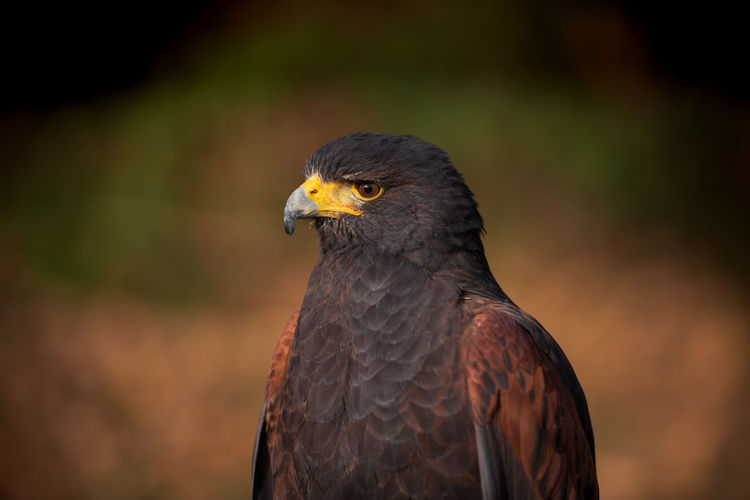Birds Of EyeEm  Bird Photography Birds Eyeem Birdphotography EyeEm Birds Nature Photography Nature_collection Animal Body Part Nature No People Focus On Foreground Looking Away Close-up Bird Bird Of Prey Animal Themes Animal One Animal Parabuteo Unicinctus Harris Hawk