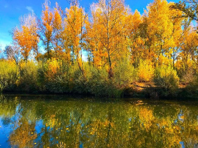 Autumn Autumn Colors Beauty In Nature River Riverside River View Fall Fall Colors Fall Leaves Tree Lake Change Tranquil Scene Scenics Poplar Poplar Tree Populus Populus Nigra Tranquility Leaf Water Water Reflections Reflection Environment Nature