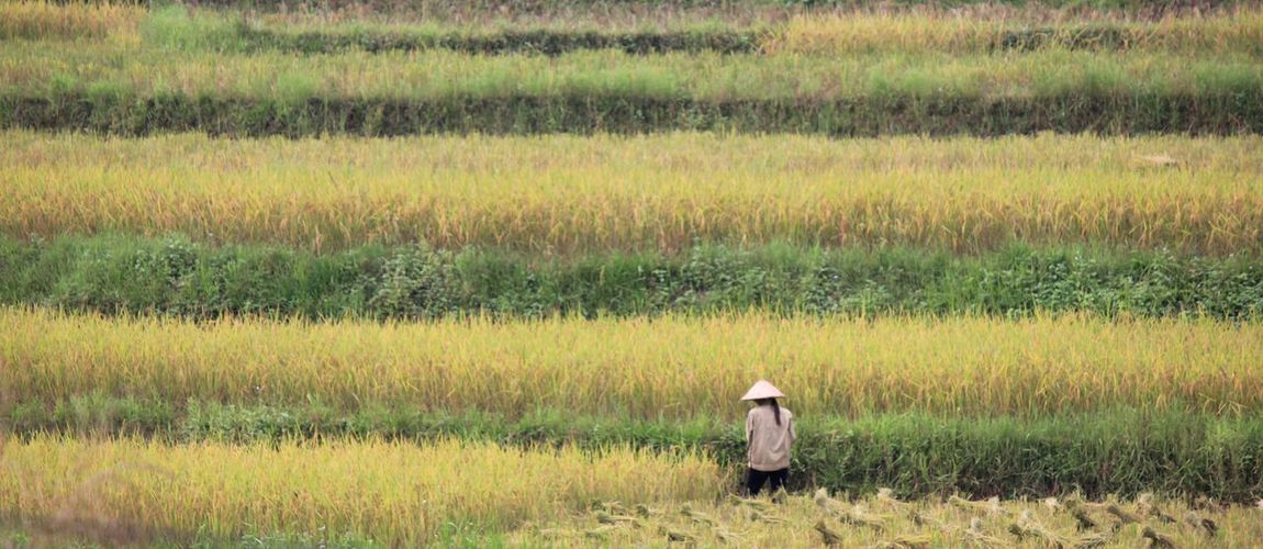 A farmer working in the rice terraces fields of northern vietnam, in the mountains.