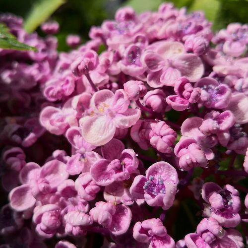 Violet Lila