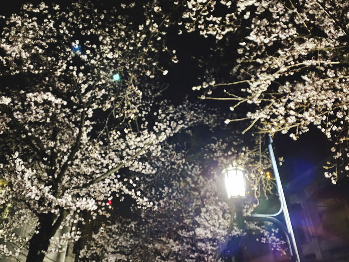 Low angle view of illuminated flowering tree at night