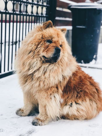 chow-chow #chowchow #dog #loveanimals EyeEm Selects Snow Cold Temperature Pets Winter Dog Close-up Lion - Feline Lioness Roaring