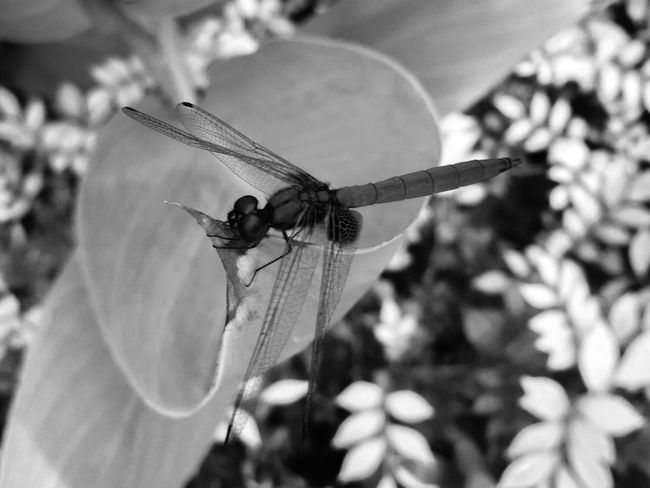 Dragonfly Crimson Dropwing Dragonfly Transparent Wings Trithemis Aurora Crimson Marsh Glider Odonata Libellulidae Dragonflies Dragonfly Pasir Ris, Singapore September 2017 Black & White Black And White B&w Insect Paparazzi Insect Invertebrate Animals In The Wild Animal Themes Animal Wildlife Animal One Animal Animal Wing Close-up Focus On Foreground Plant Nature Outdoors Day No People Beauty In Nature