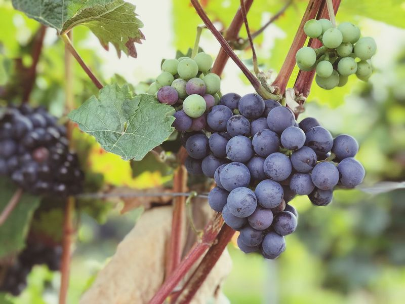 Grape Fruit Vineyard Growth Food And Drink Agriculture Freshness Winemaking Day Outdoors Food No People Close-up Vine - Plant