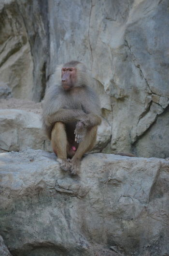 Young male hamadryas baboon, sitting Animal Portrait Animal Themes Baboon Portrait Baboons Focus On Foreground Hamadryas Baboon Mammal No Edit/no Filter No Filter No People Outdoors Rock - Object Fine Art Photography