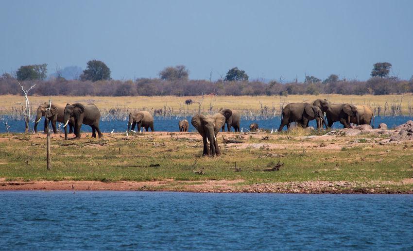 Animals In The Wild Elephant Elephant Herd Kariba Lake Large Group Of Animals Safari Animals Zambia