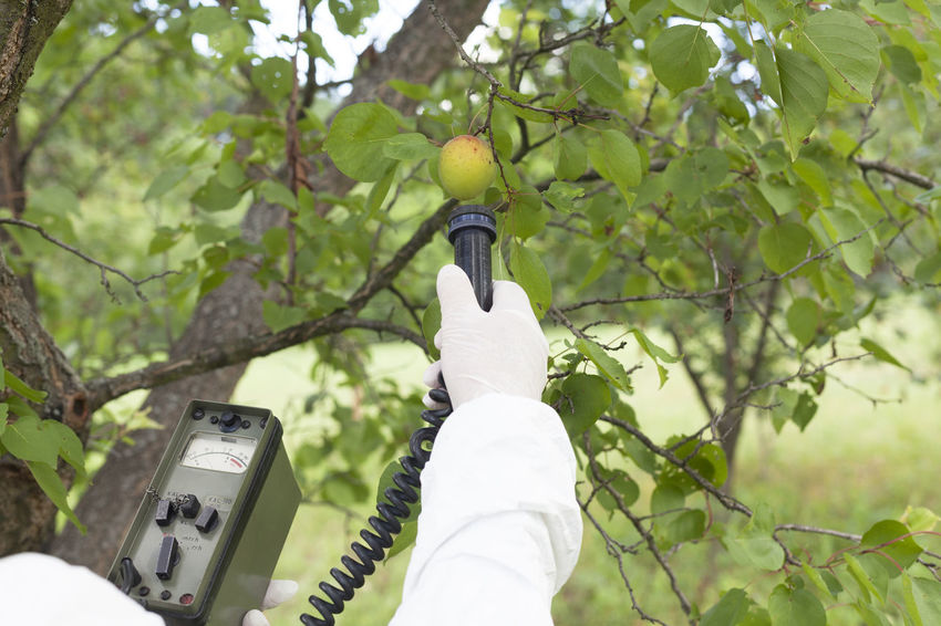 Measuring radiation level of apricot Food; Instrument Agriculture Apricot Healthcare Measuring Detecting Environment Equipment; Fruit Fruits Geiger Counter Holding Human Hand Level Measurement Measuring Radioactivity Nature Orchard Pollution Protective Glove Radiation
