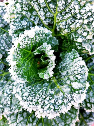 Close-up of snow on white flowering plant