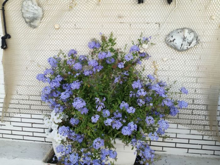 Close-up of purple flowering plant hanging against white wall