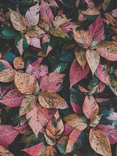 Full frame shot of pink flowering plants during autumn