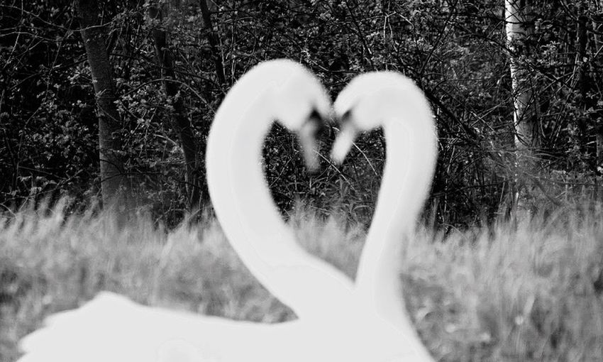 Swan love Swans Heart Love Neck Exceptional Photographs EyeEm Masterclass Eye4photography  EyeEm Best Shots Defocused Favorite Bestoftheday Best EyeEm Shot EyeEm Nature Lover EyeEmBestPics EyeEm Best Shots - Nature EyeEm Best Shots - Black + White Beauty In Nature Beautiful Nature Heart Shapes In Nature Stunning Incredible_shot Fantastic Beautiful Beauty Beauty In Ordinary Things